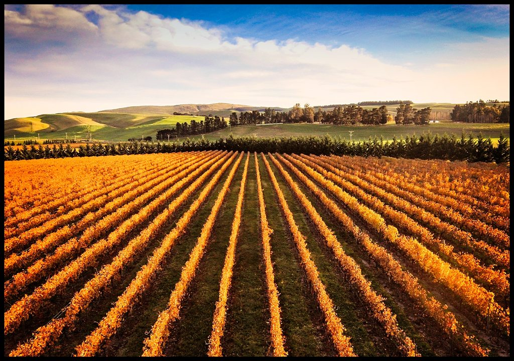 Waipara Golden Vines